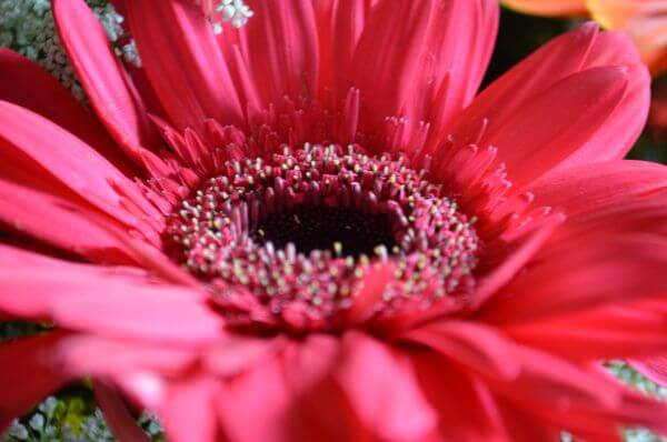 Pink Red Daisy Aster photo