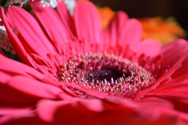 Pink Red Daisy Flower photo