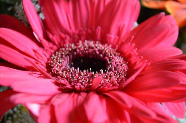Red Daisy Beautiful photo