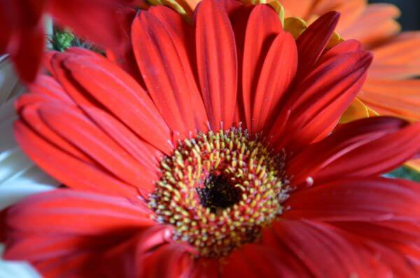 Red Daisy Flower photo