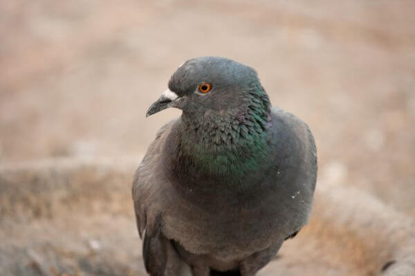 Pigeon Bird Closeup photo