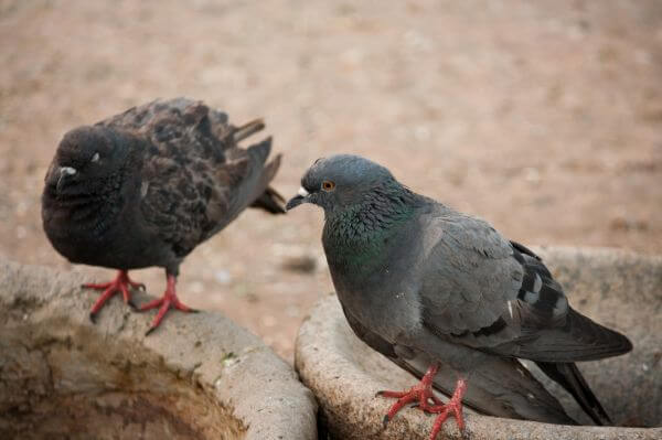 Pigeons Birds photo