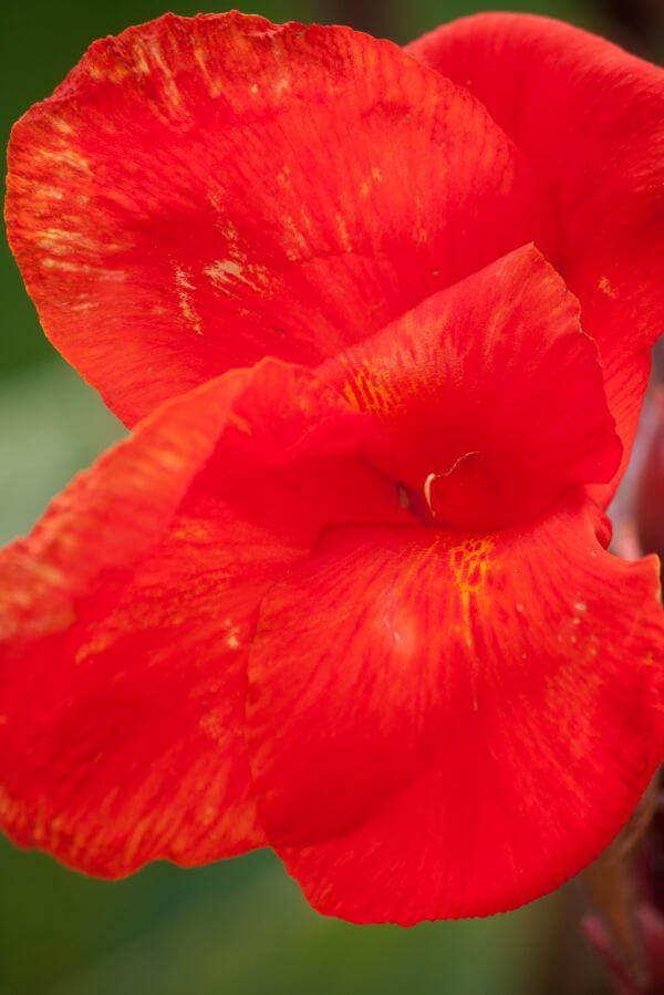 Red Flower Petals photo