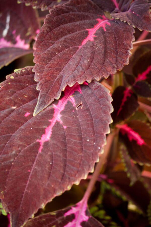 Violet Leaves photo
