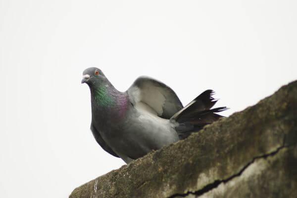 Pigeon On Wall photo