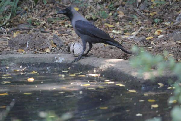 Crow Near Water Pond photo