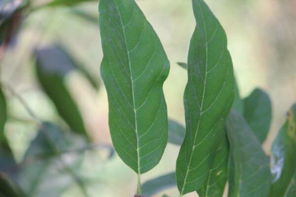 Custard Apple Plant photo