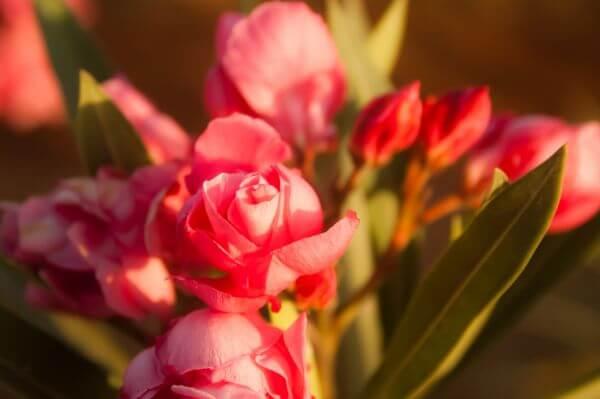 Red Pink Rose photo