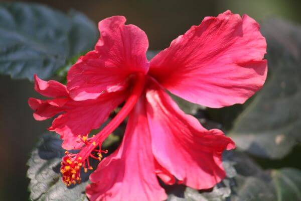 Hibiscus Pink Red Flower photo
