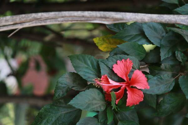 Hibiscus Red photo
