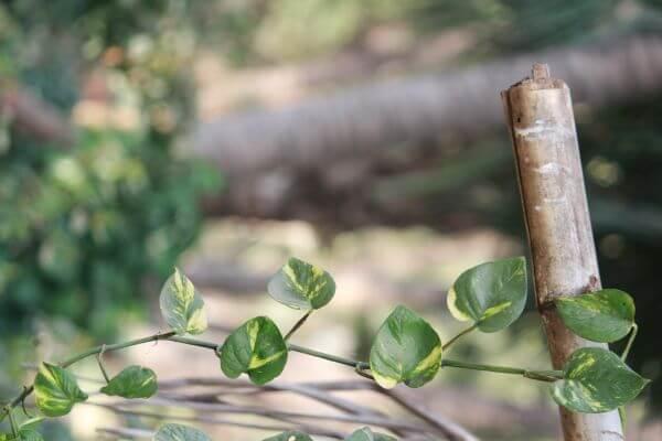 Money Plant Bamboo photo