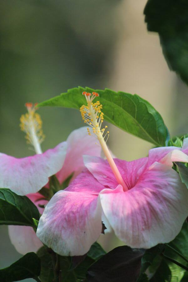 Pink White Hibiscus Rose Mallow photo