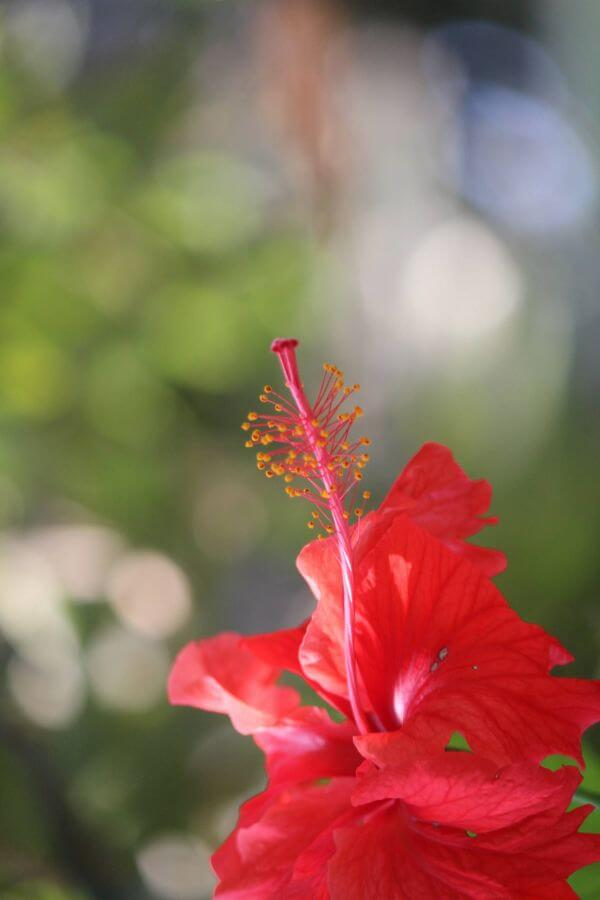 Red Hibiscus Plant Flower photo