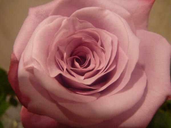 Beautiful Rose Flower 2 photo