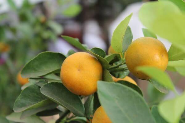 Orange Fruits Garden Lime photo