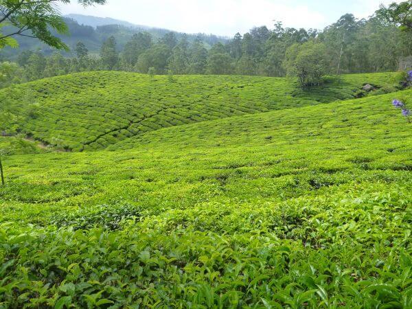 Green Tea Plantations photo