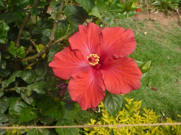 Hibiscus In Garden photo