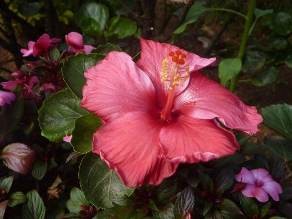 Hibiscus Pink Red Color photo