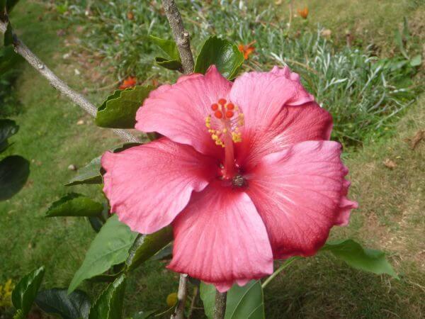 Hibiscus Plant Flower photo