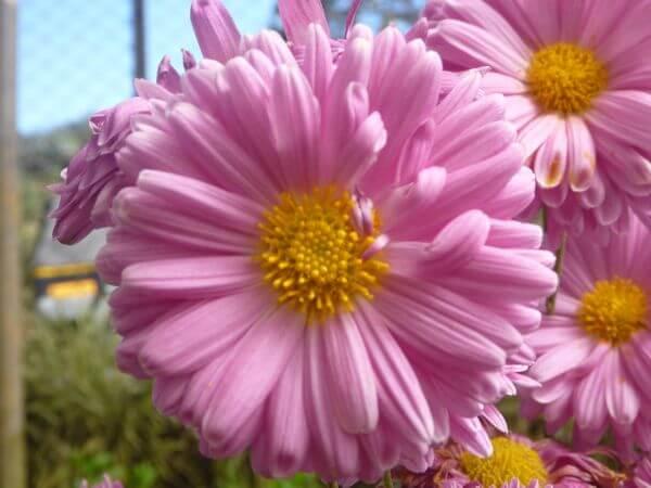 Pink Flowers Beautiful photo