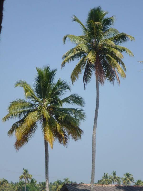Tall Coconut Tree photo