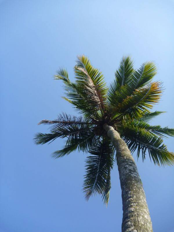 Tall Cocounut Tree photo