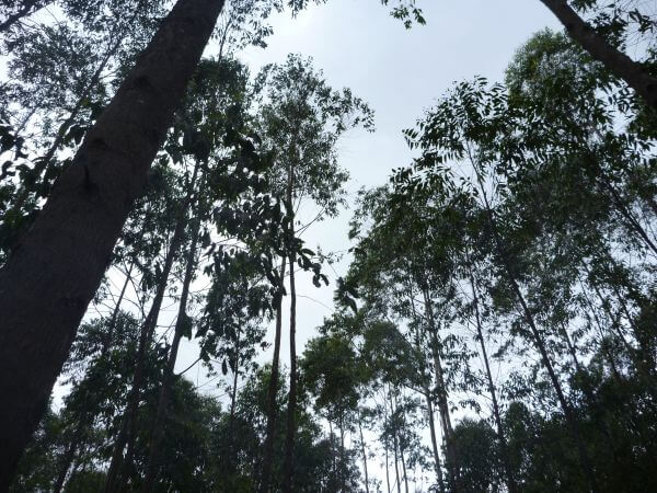 Tall Trees Forest photo