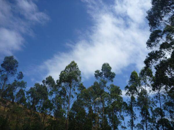 Tall Trees Forest Jungle Sky photo