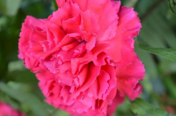 Red Carnation Bright photo