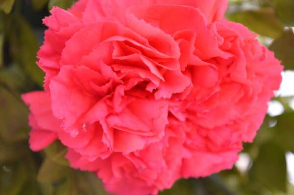 Red Pink Carnation Flower photo