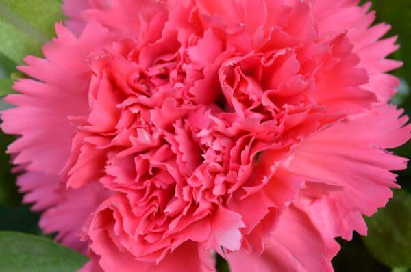 Carnation Pink Colored photo