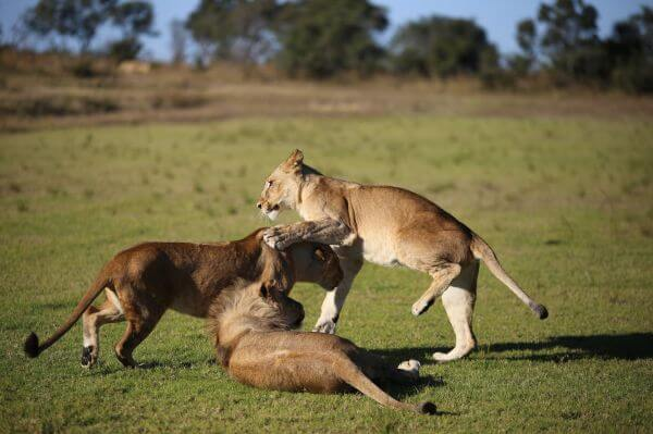 Lion cubs play fighting photo