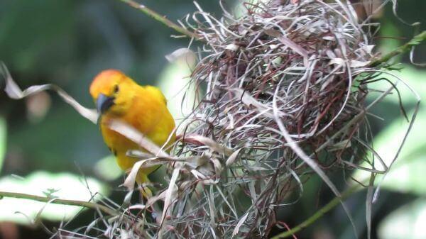Bird  nestle  bird home making video