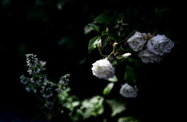 White rose on black background photo