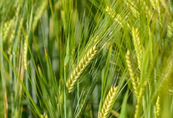 Fresh wheat photo