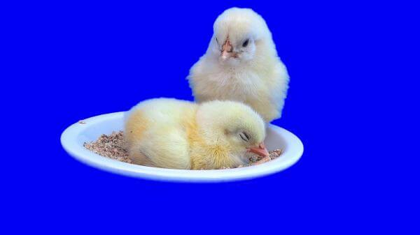 Chick  hen  eggs video