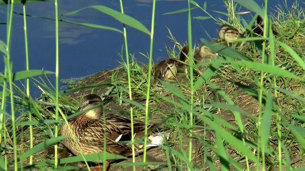 Lake  duck  summer video