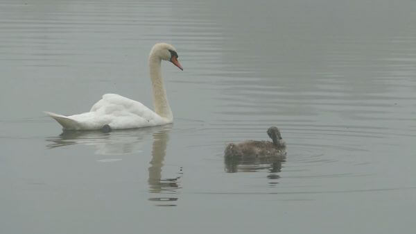 Swans  nature  landscape video