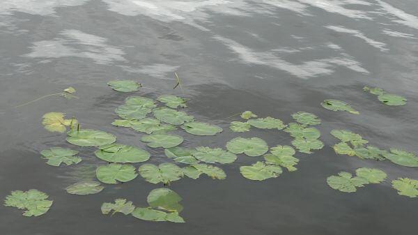 Lake  water  lilies video