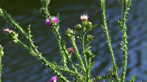 Thistle  river  summer video