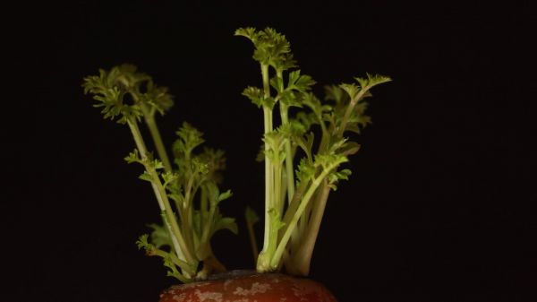 Carrot  plant  gardening video