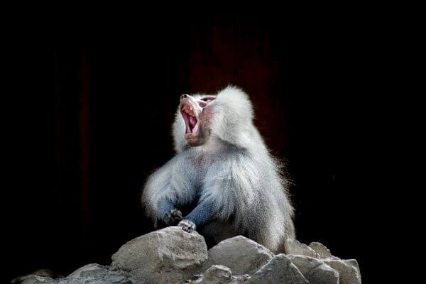 Yawning baboon photo