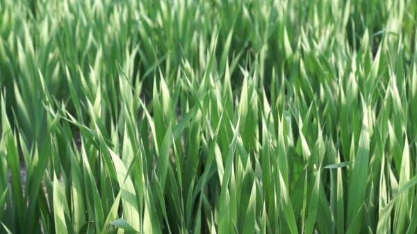 Grass  green  meadow video