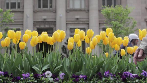 Tulips  yellow  urban video