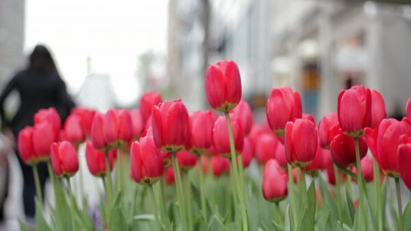 Tulips  flowers  red video