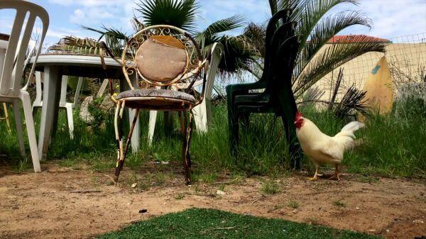 Rooster  backyard  bird video