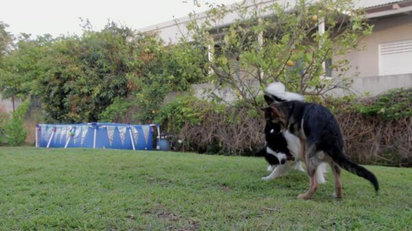 Dogs  playing  two video