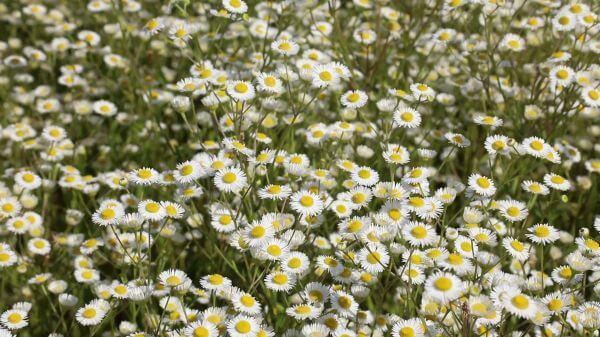Daisy  meadow  summer video