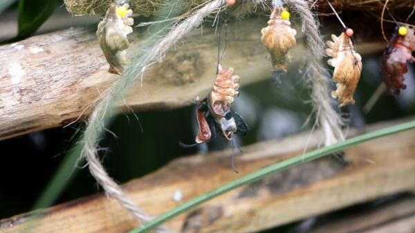 Larva  butterfly  hatch video