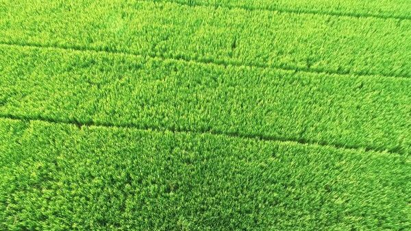 Rice field  agriculture  thailand video